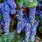 Ripening Cabernet Sauvignon,  Grapes, Napa Valley, California
