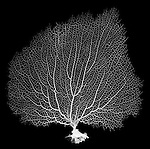 X-ray image of a purple sea fan (white on black) by Jim Wehtje, specialist in x-ray art and design images.