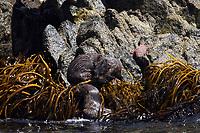 marine otter, chungungo, Lontra felina, Antofagasta, North of Chile, brothers playing
