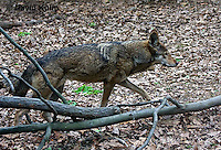 0503-0902  Critically Endangered Red Wolf, Canis rufus (syn. Canis niger)  © David Kuhn/Dwight Kuhn Photography