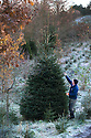 03/12/14<br /> <br /> After the first overnight frost of the winter with temperatures plunging to -2, Neil Townley, 49, harvests trees at Clayton Fold Christmas Tree Farm in the Goyt Valley near Whaley Bridge in the Cheshire Peak District. Neil expects to sell about 1000 trees this year from his plantation that he says is one of the highest Christmas tree farms in the country.<br /> <br /> &quot;We're at 1000 ft up here - it's the height Christmas trees - especially the Nordmans - are meant to grow at. You can grow them on lower land but they love it up here.<br /> <br /> &quot;This is the first frost we've had. They'll be four of cutting trees down for customers today. On Saturday we'll probably get about 300 people here all choosing their own trees. I just hope it doesn't snow at the weekend&quot; said Neil.<br /> <br /> ***ANY UK EDITORIAL PRINT USE WILL ATTRACT A MINIMUM FEE OF &pound;130. THIS IS STRICTLY A MINIMUM. USUAL SPACE-RATES WILL APPLY TO IMAGES THAT WOULD NORMALLY ATTRACT A HIGHER FEE . PRICE FOR WEB USE WILL BE NEGOTIATED SEPARATELY***<br /> <br /> <br /> All Rights Reserved - F Stop Press. www.fstoppress.com. Tel: +44 (0)1335 300098
