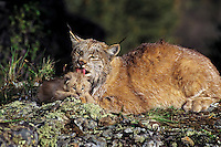 Canada Lynx (Lynx canadensis) mom with very young kitten.