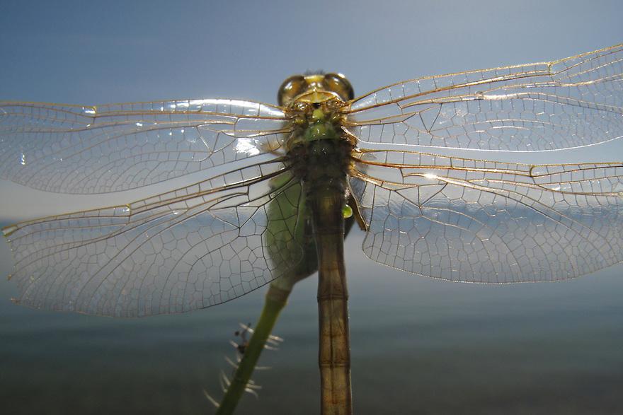 Newly emerged Club-tailed Dragonfly, Gomphus vulgatissimus, (Odonata, Gomphidae) dries its wings.<br /> Lagadin region. Lake Ohrid (693m).<br /> Galicica National Park, Macedonia, June 2009<br /> Mission: Macedonia, Lake Macro Prespa /  Lake Ohrid, Transnational Park<br /> David Maitland / Wild Wonders of Europe