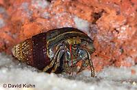 1101-0905  Aquatic, Underwater Hermit Crab, Dwarf Red Tip Hermit Crab, Clibanarius spp.  © David Kuhn/Dwight Kuhn Photography
