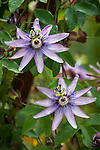 Purple passiflora flowers (passionflower vine) in the Mission San Juan Baptista garden
