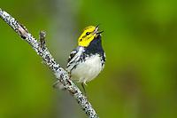 black-throated green warbler, Setophaga virens, male, singing, spring, Nova Scotia, Canada