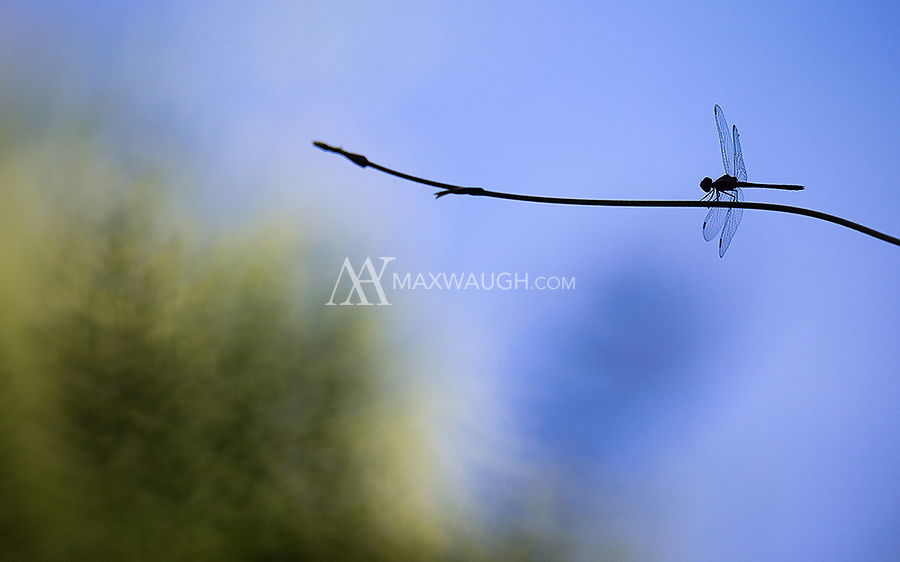 A dragonfly perches in the southern Brazilian Amazon.