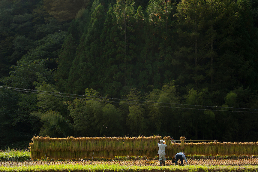Harvesting rice in the fields around Nobushina in the remote mountains of Nagano Prefecture, Japan.
