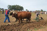 Vaches Salers de trait