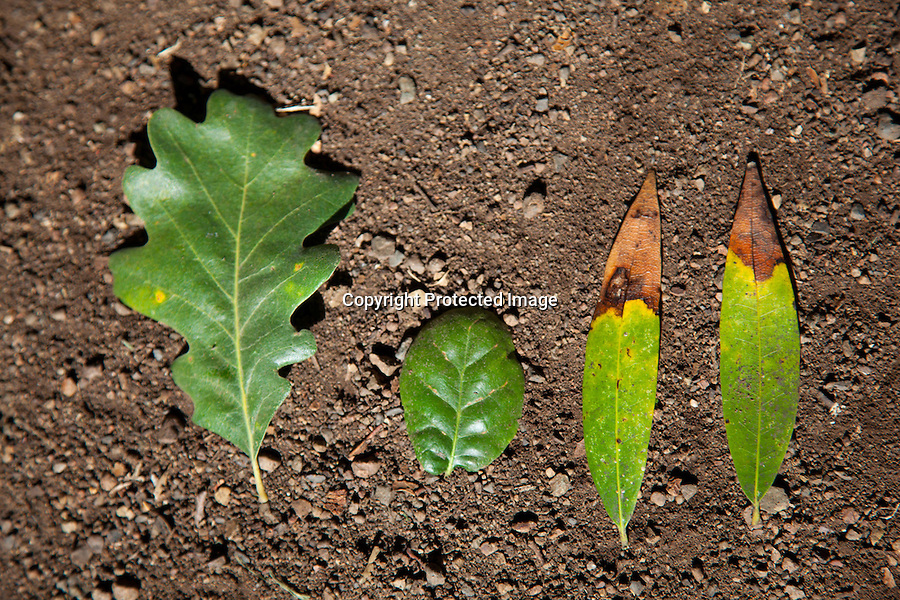Valley Oak trees, lobe leaf type far left is NOT, susceptible to SOD.  Coast Live Oak trees, with oval leaf type in center, are highly vulnerable to SOD.<br /> <br /> Infected bay tree leaves, right, transmit SOD to healthy oak trees during the wet and warm Spring months as spores travel.