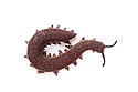 Velvet Worm {Peripatus novaezealandiae}. Velvet Worms are known as 'living fossils', having remained the same for approximately 570 million years. New Zealand. Captive. website