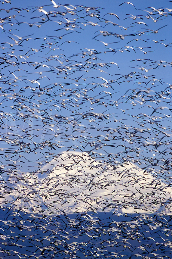 Snow geese (Chen caereulescens) flocking. Mt. Baker in background. Winter. Conway, WA