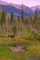 Cariboo Chilcotin Region, BC, British Columbia, Canada - Beaver (Castor canadensis) Dam damming a Creek