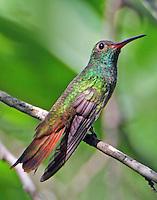Adult female buff-bellied hummingbird
