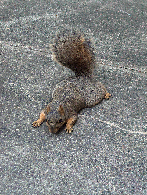 Squirrel on the sidewalk begging for peanuts in Houston Texas