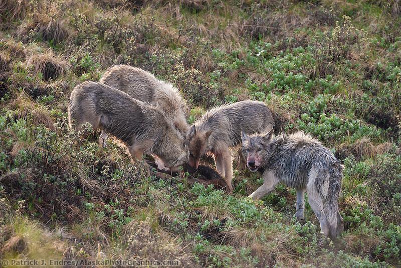 Grant Creek wolf pack feeds on a recently killed moose calf, Denali National Park, Interior, Alaska.