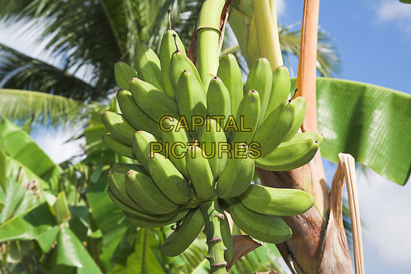 Looking up at bananas growing on a tree, Boca Sama, near Guardalavaca, Holguin Province, Cuba