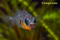 1S14-556z  Male Threespine Stickleback, Mating colors showing bright red belly and blue eyes, close-up of face, Gasterosteus aculeatus,  Hotel Lake British Columbia