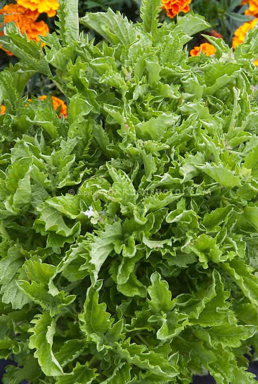 Basil Green Ruffles Ocimum