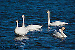 Trumpeter swans. National Elk Refuge, Wyoming.