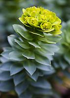 Donkey-tail spurge - Euphorbia myrsinites