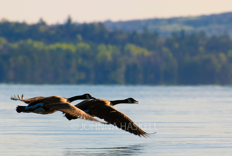 Flying pair of Canada Geese during the early mating season on Flagstaff Lake.
