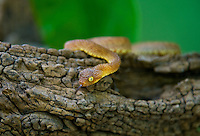 489000007 a hatchling captive variable bush viper atheris squamigera sits coiled on a large tree limb species is native to the democratic republic of the congo