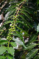 Green coffee cherries on tree at Kaleo's Koffee orchard in Pa'auilo Mauka on the Big Island.