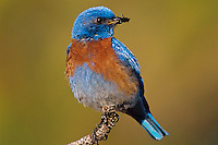 Male western bluebird (Sialia mexicana).  Pacific Northwest.  May.
