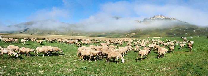 Sheep on the Piano Grande, Gret Plain, of Castelluccio di Norcia, Parco Nazionale dei Monti Sibillini ,  Apennine Mountains,  Umbria, Italy.