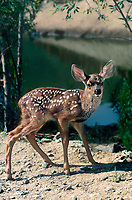 625259010 a spotted mule deer fawn odocoileus hemionius pauses by a small waterhole at a wildlife rescue facility - species is native to a large portion of the united states