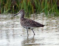 Willet in breeding plumage