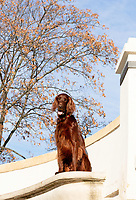 Irish Setter on white concrete stairs with blue sky and autumn tree as backdrop