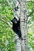 Black Bear (Ursus americanus) cub in tree.  Climbing tree provides safety for cub while mother is foraging about on forest floor.