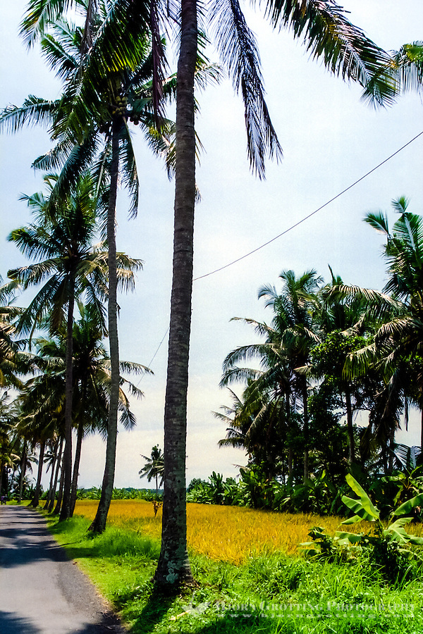 Bali, Badung, Seseh. Seseh is a very fertile area with large ricefields, located north of Canggu and Kuta.