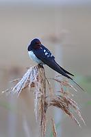 Barn Swallows perching on reeds, Bagerova Steppe, Kerch Peninsula, Crimea, Ukraine