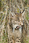 Wild Iberian lynx standing in tall grass licking it's lips after feeding .