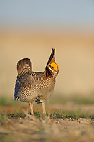 Adult male Lesser Prairie-chickens (Tympanachus pallidicinctus) displaying on a lek. Cimarron National Grassland, Kansas. April.