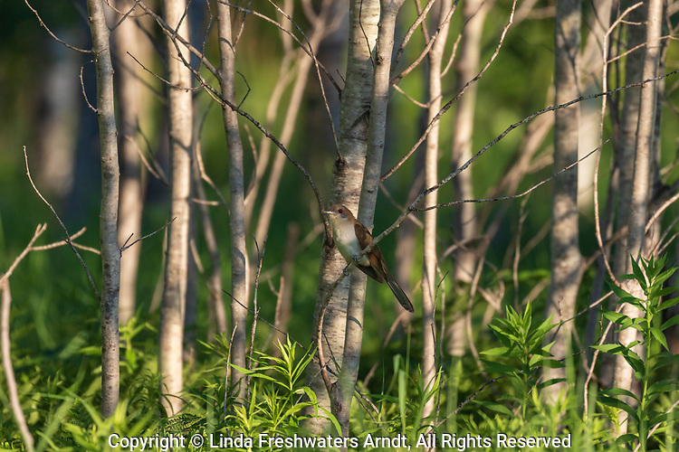 Black-billed cuckoo perched on the edge of a stand of aspen in northern Wisconsin.