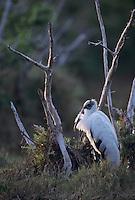 Wood Stork, Mycteria americana, adult resting, Sanibel Island, Florida, USA