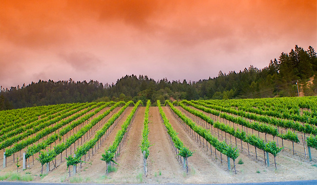Vineyard near Guerneville in Sonoma County
