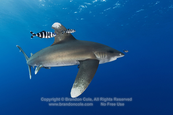 TG0846-D. Oceanic Whitetip Shark (Carcharhinus longimanus), considered a dangerous species, has been responsible for attacks on humans lost at sea. Accompanying the shark are Pilotfish (Naucrates ductor). Pilotfish are semi-obligate commensal symbionts following sharks, turtles, and other pelagic animals.  Egypt, Red Sea.<br /> Photo Copyright © Brandon Cole. All rights reserved worldwide.  www.brandoncole.com