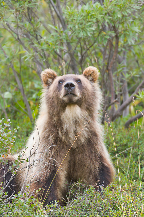 Sub adult grizzly bear, Denali National Park, Alaska