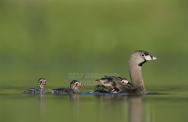 Pied-billed Grebe, Podilymbus podiceps,adult with young on back, Willacy County, Rio Grande Valley, Texas, USA, May 2004