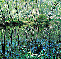 alders reflected in Big River backwater