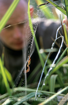 Researcher catching St Andrews Cross spider and its web from grass, Macquarie University biology dept