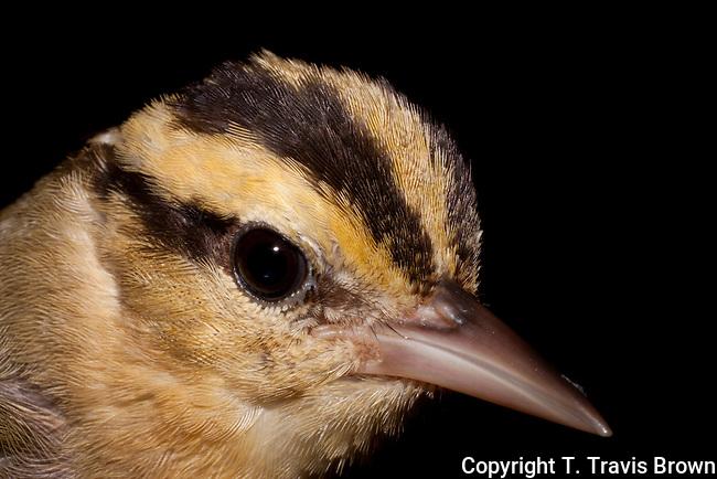 Worm-Eating Warbler Portrait