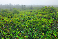 Boggy habitat along the trail leading to the Atlantic Ocean<br /> Kejimkujik National Park (Seaside Adjunct)<br /> Nova Scotia<br /> Canada