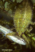 WS11-011c   Giant Waterbug nymph with fish - Lethocerus spp.
