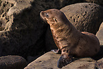 La Jolla, California; a dry, furry, California sea lion pup sitting on the rocky shoreline in the late afternoon sunlight